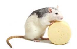Как вывести крыс из дома гарантированно и безопасно