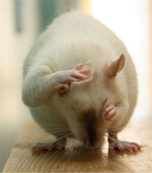 Крысы боятся ультразвука
