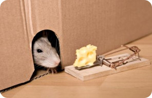 Приманки привлекают крыс и мышей в ваш дом